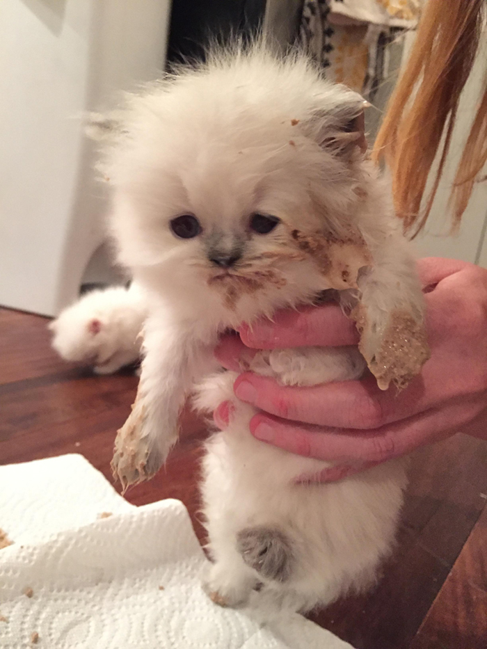 white kitten finishes dinner with dirty fur
