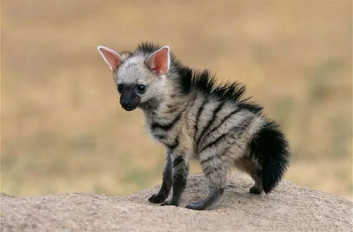 aardwolves as shy and nocturnal creatures