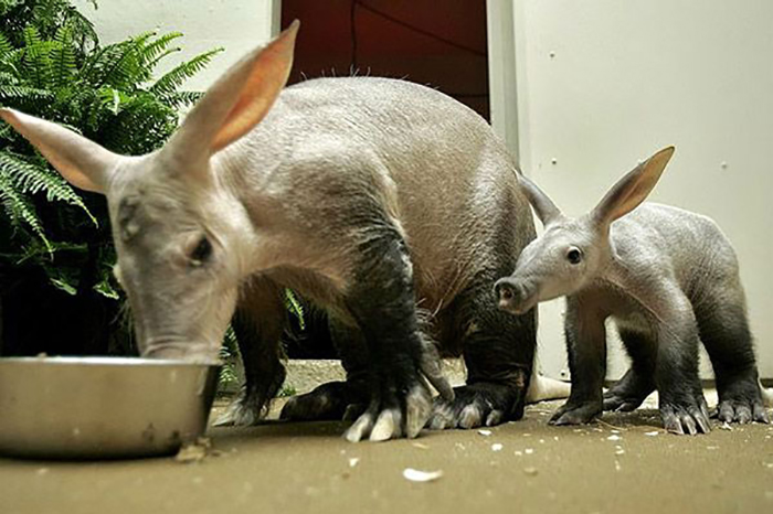 animal facts aardvark preventing wildfire deaths