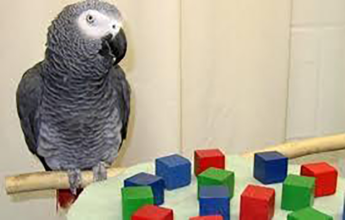 animal facts alex the african grey parrot existential question