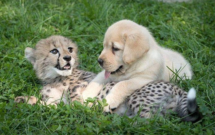 animal facts baby cheetah with support dog