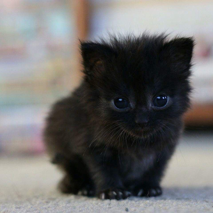 animal facts black cats in scottish lore