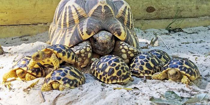 animal facts burmese star tortoise come back after extinction