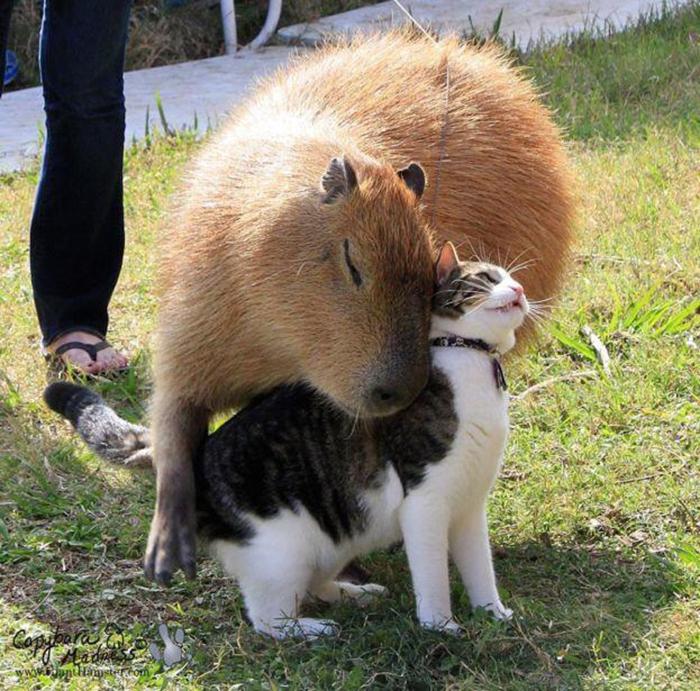 animal facts capybaras as social animals