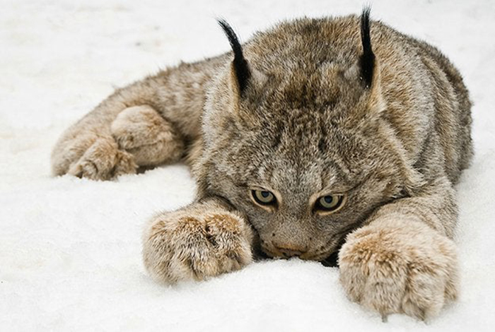 animal facts lynx paws
