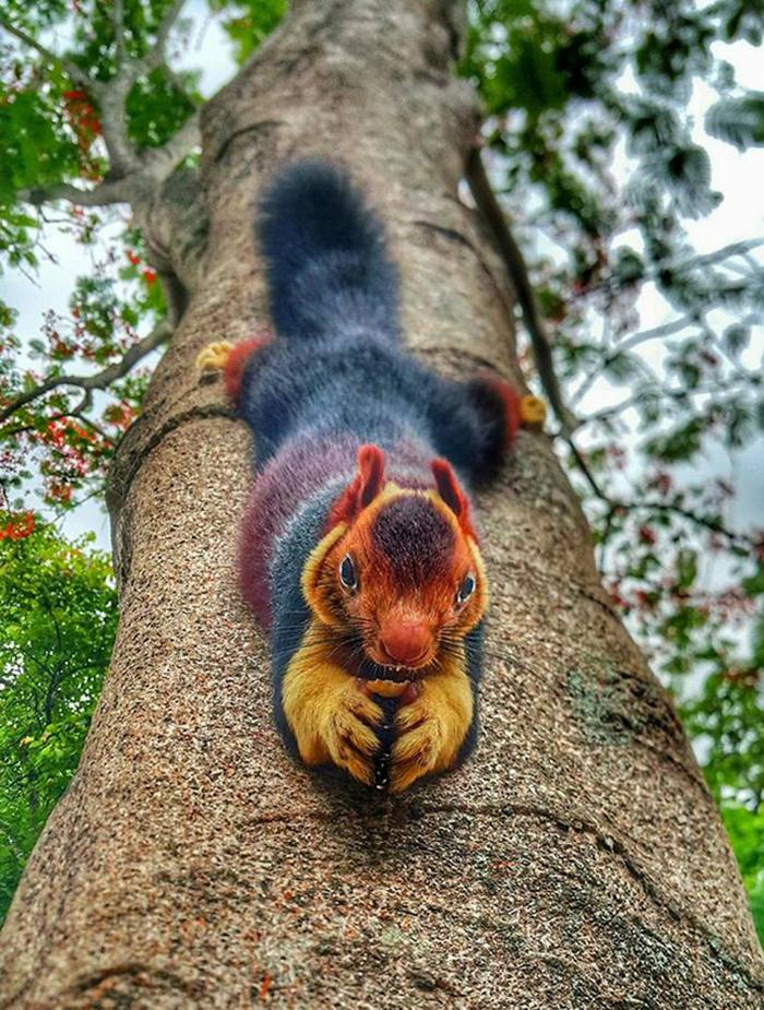 animal facts malabar giant squirrel when in danger