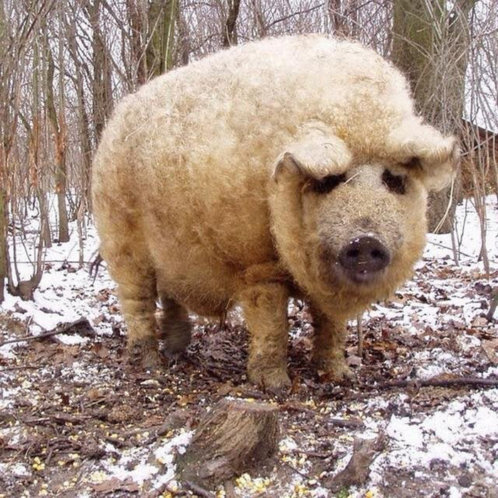 animal facts mangalica only pig species with long wool coat