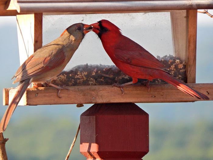 animal facts north cardinal romantic bird species