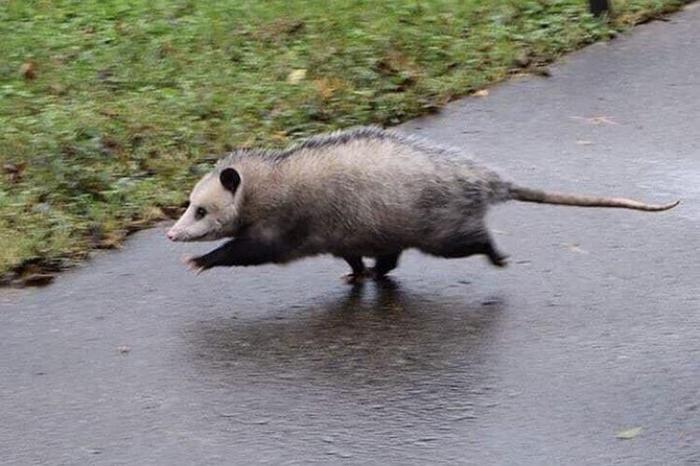 animal facts opossum getting rid of parasites
