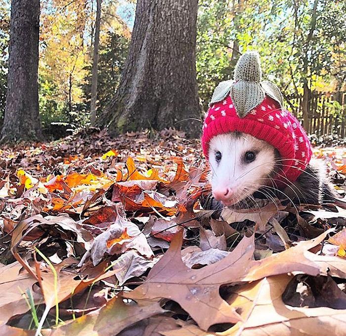 animal facts opossum in north america