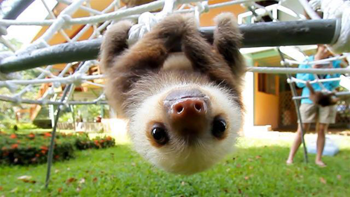 animal facts sloth claws