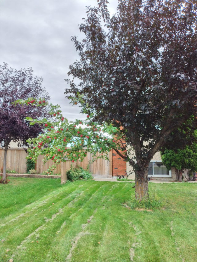 apple-branch-on-normal-tree-Olyver1014