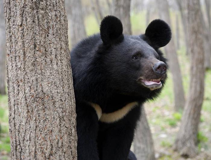 asiatic black bear largest ears