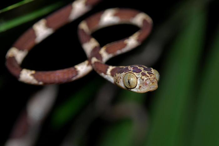 blunthead tree snake eye size
