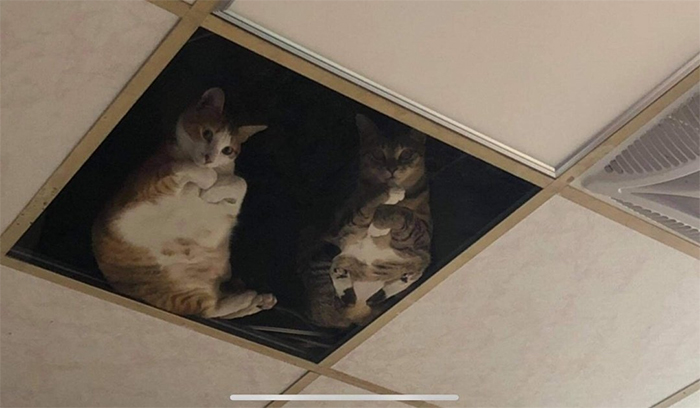 cats staring from ceiling glass