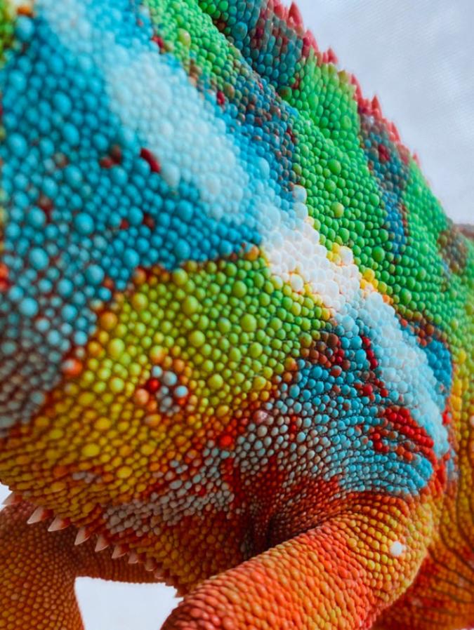 chameleon-skin-closeup-Sofacamaa192