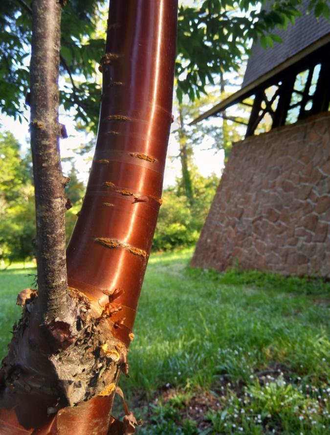 coppery-tibetan-cherry-tree-interesting-things-connor-clark02