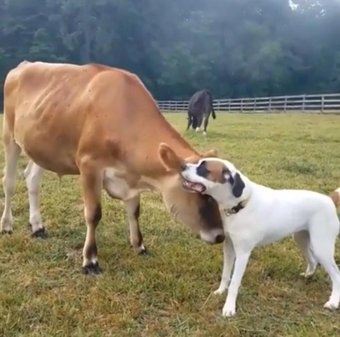 cows similar emotional range as dogs