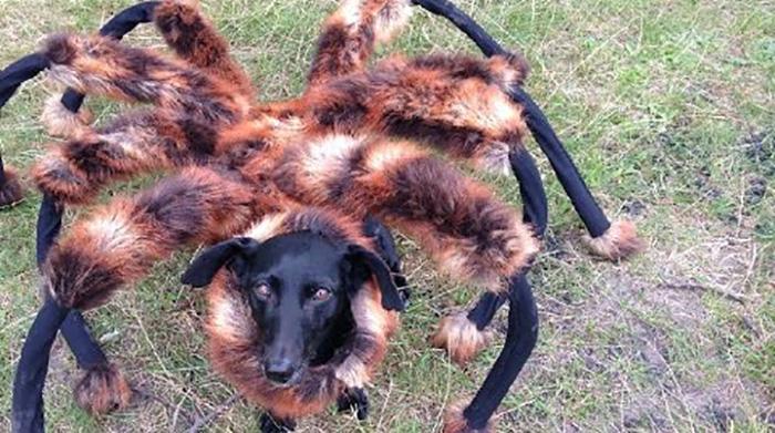 dachshund dressed like a spider