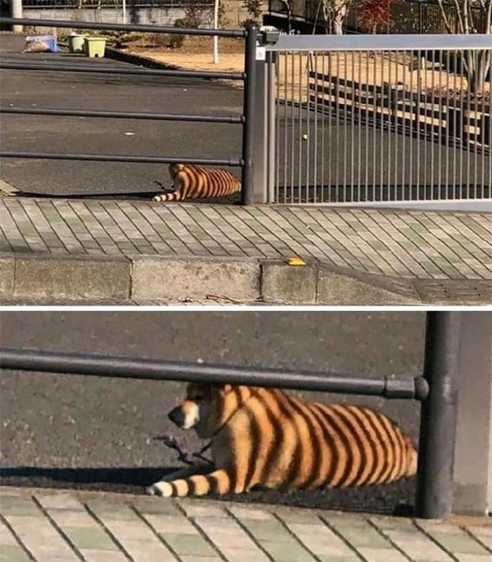 dog gate shadow bengal tiger