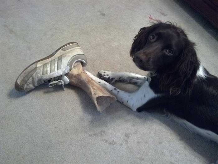 dog puts bone in the shoe