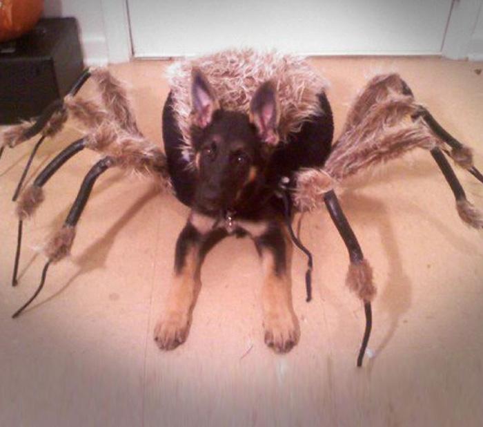 german shepherd dressed like a spider