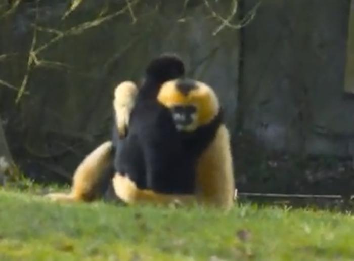 gibbons as monogamous creatures