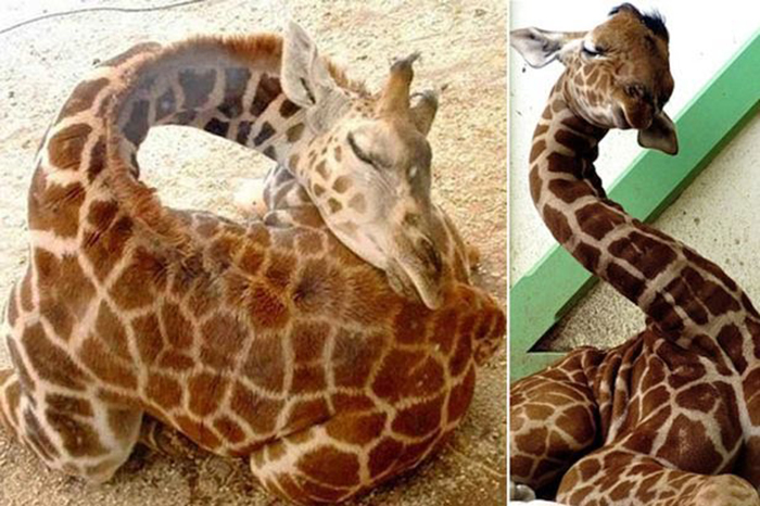 giraffes sleeping duration and position