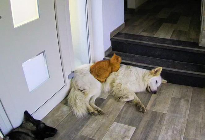 kitten raised by dogs think he is a dog