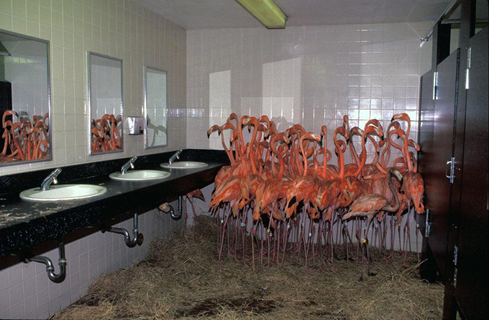 miami zoo flamingos in bathroom to ride out hurrican andrew