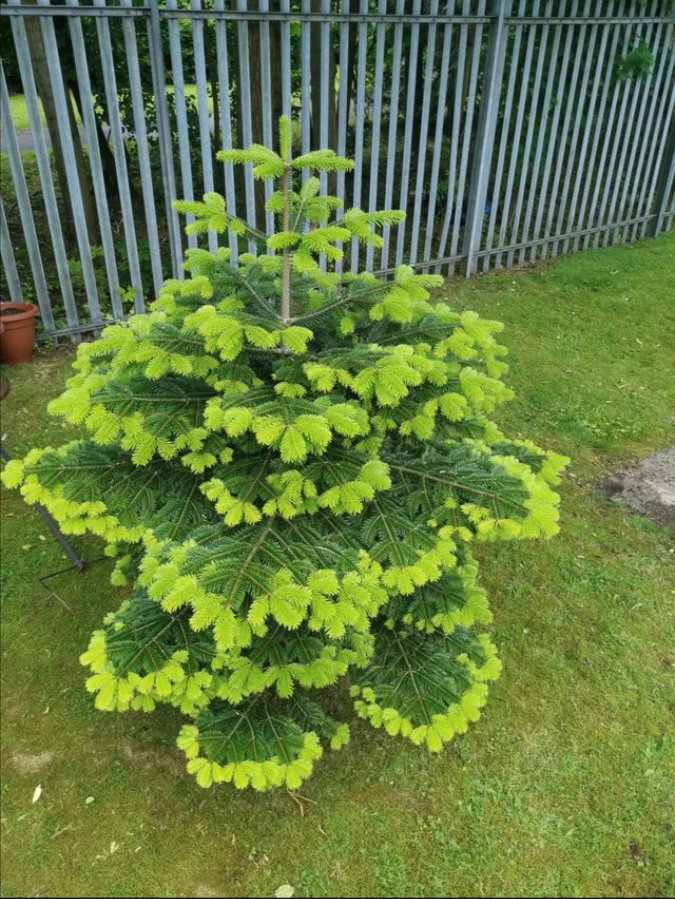 new-growth-on-fir-tree-Jaffa1995