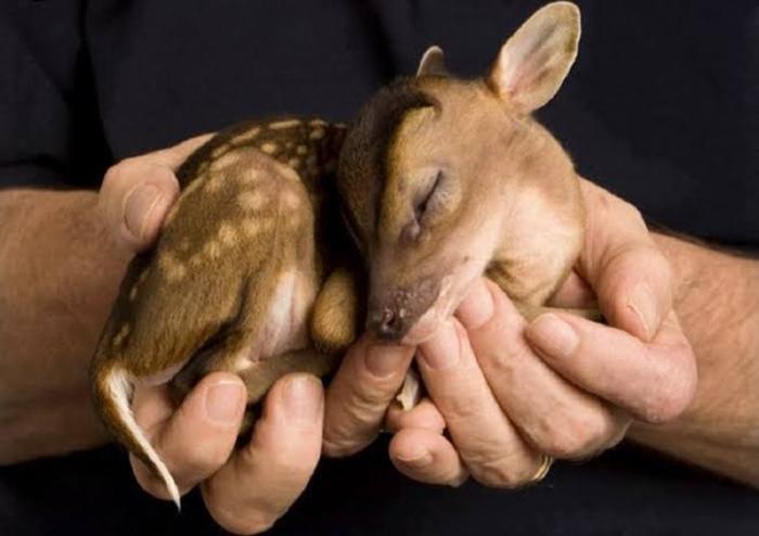newborn chinese water deer
