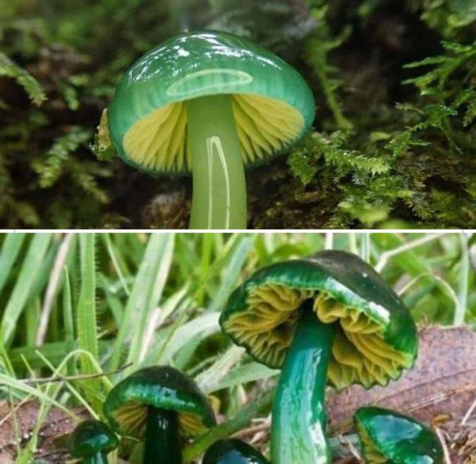 parrot-waxcap-mushroom-intersting-things-Browndog8888