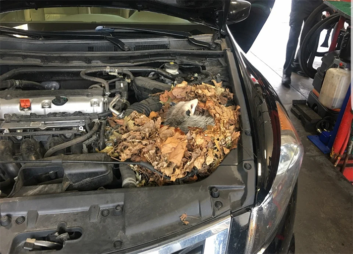 possum nest under car hood