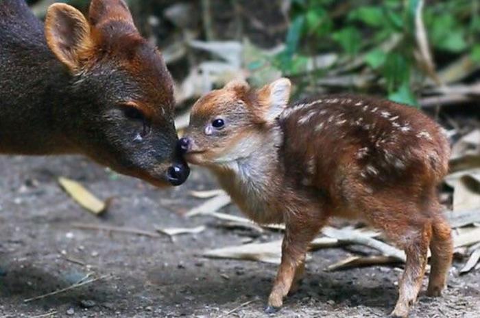 pudu deer smallest deer species