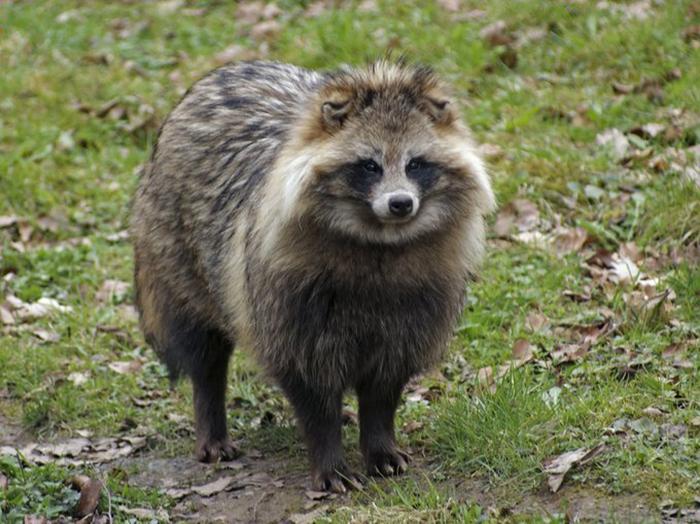 raccoon dog only extant species in genus nyctereutes
