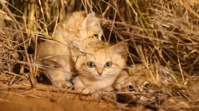sand cats in desert