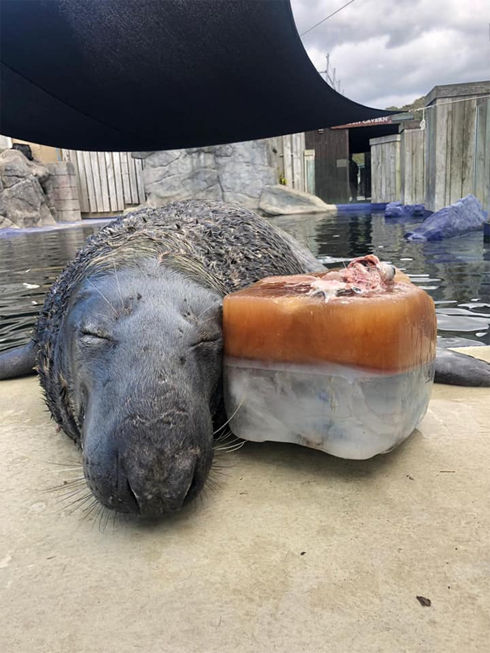 seal celebrates birthday with giant ice fish cake