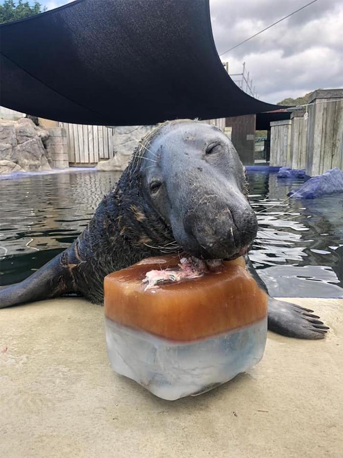 seal eats giant ice fish cake