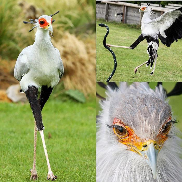 secretary birds famous features