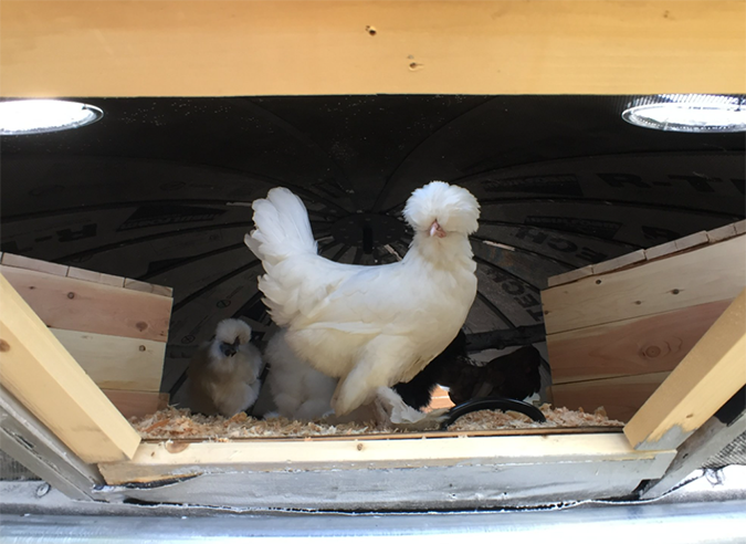 silkie chicken stands inside the UFO chicken coop