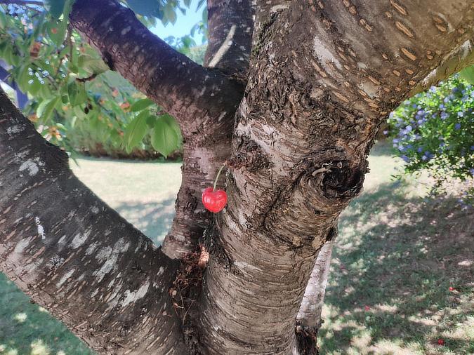 single-cherry-on-tree-interesting-things-Hyrla
