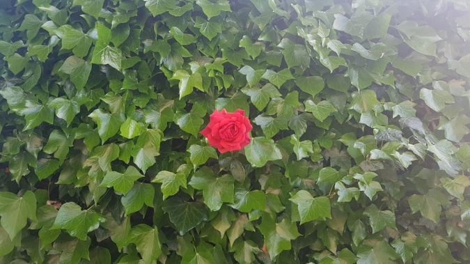 single-red-rose-grows-through-wall-of-ivy-i-lack
