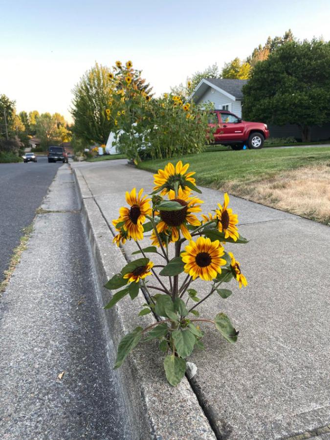sunflower-grows-on-sidewalk-interesting things-Batholith-forge