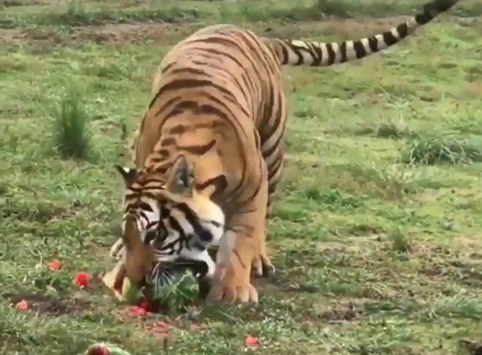 tiger eating fruit to aid digestion