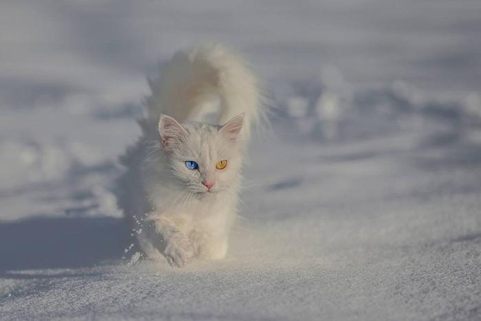 van kittens colored eyes