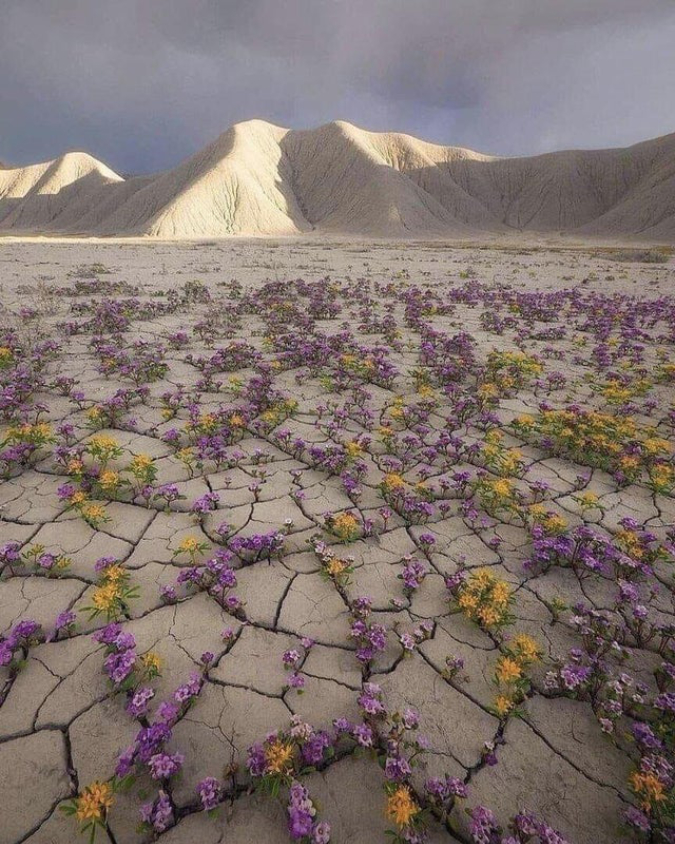 yellow-and-purple-flowers-bloom-in-desert-interesting things