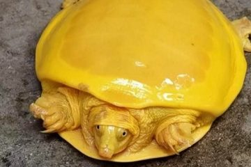 Albino Indian Flapshell Turtle