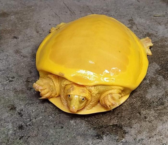 albino indian flapshell turtle
