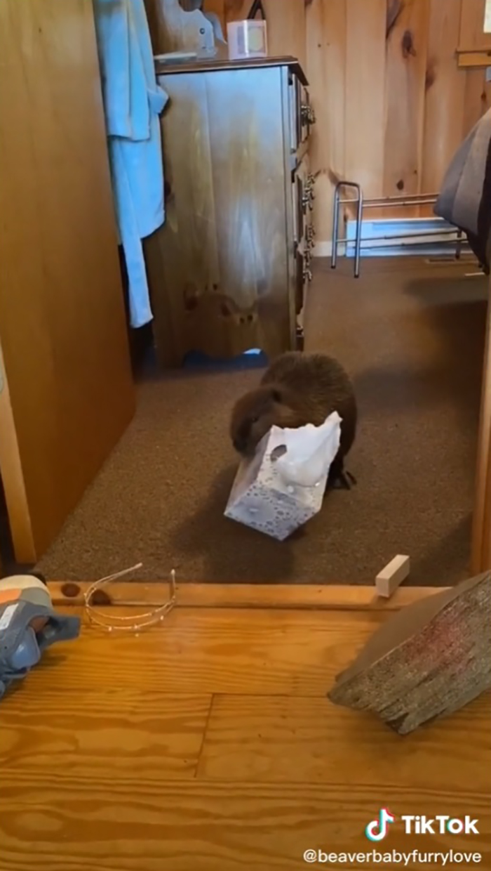 baby beaver carrying a tissue paper box in its mouth